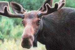 Male moose looking towards camera