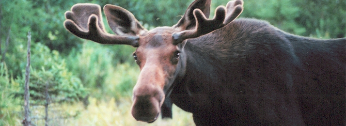 Male moose looking towards camera