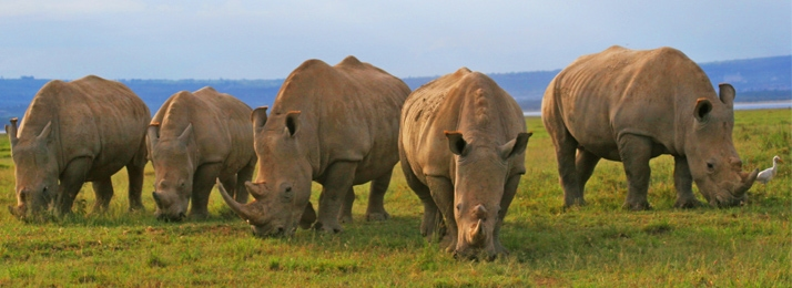 Family of rhinos grazing near Lake Nakuru, a Rhino Project rehab site.