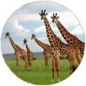 Trips by activity: Giraffes in Kenya on safari