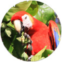 Wild Scarlet Macaw in Costa Rica on the Osa Peninsula