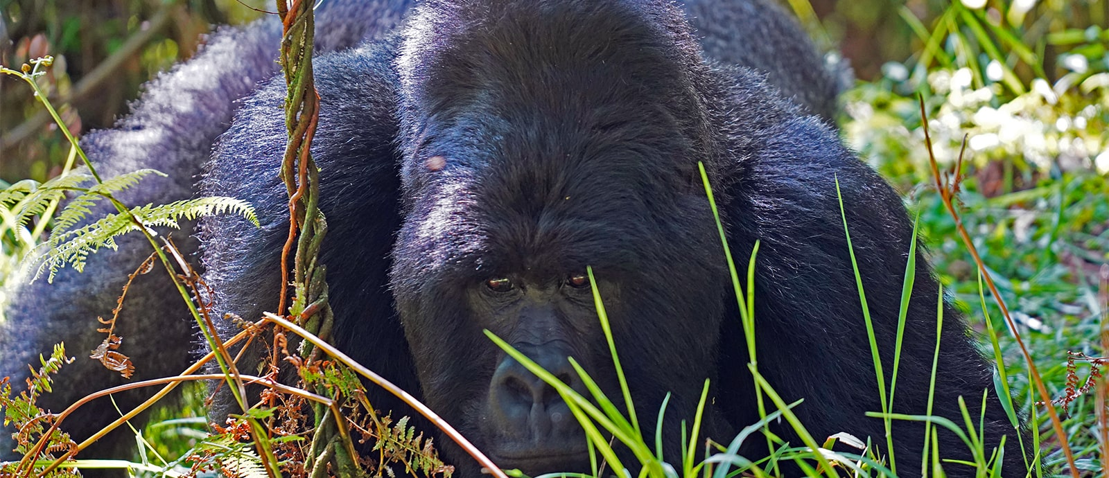 Gorilla lying down