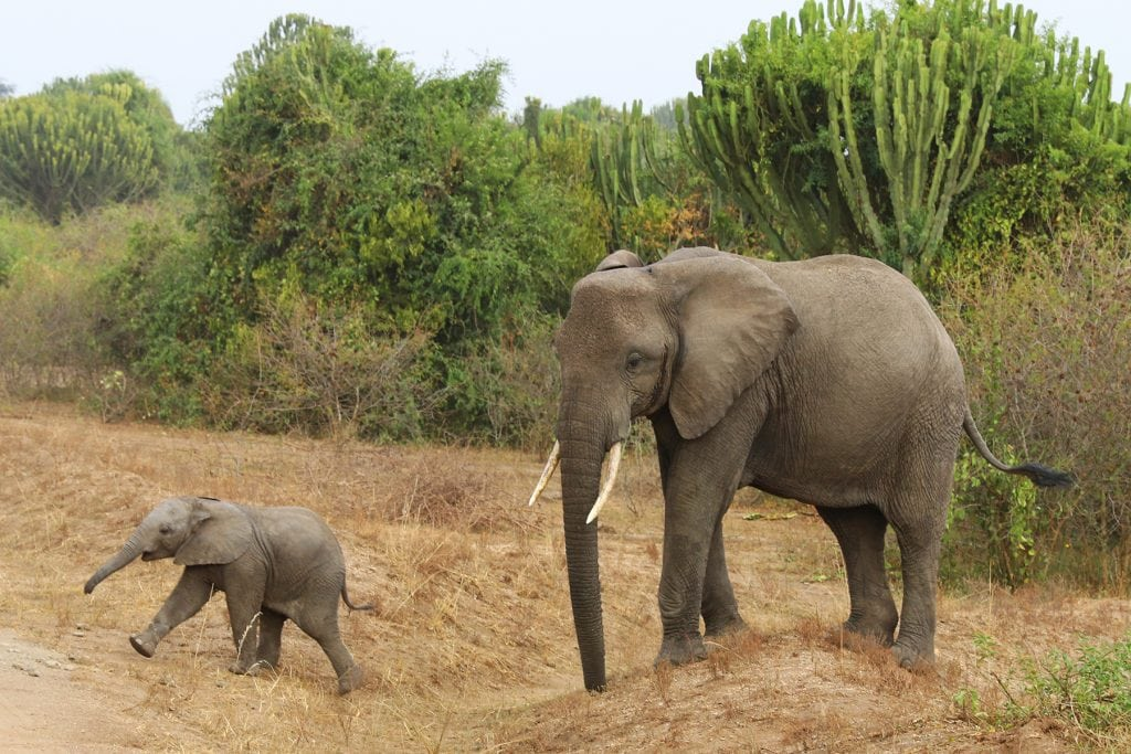 A mother and baby elephant walk with each other
