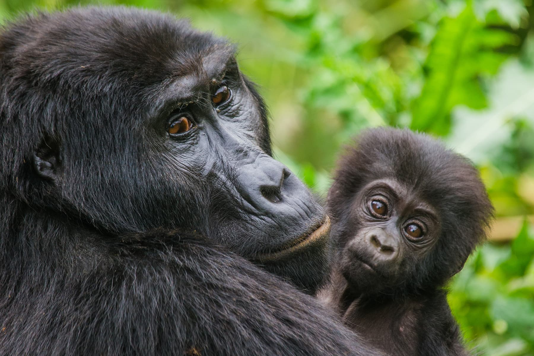 A mother gorilla holds her baby
