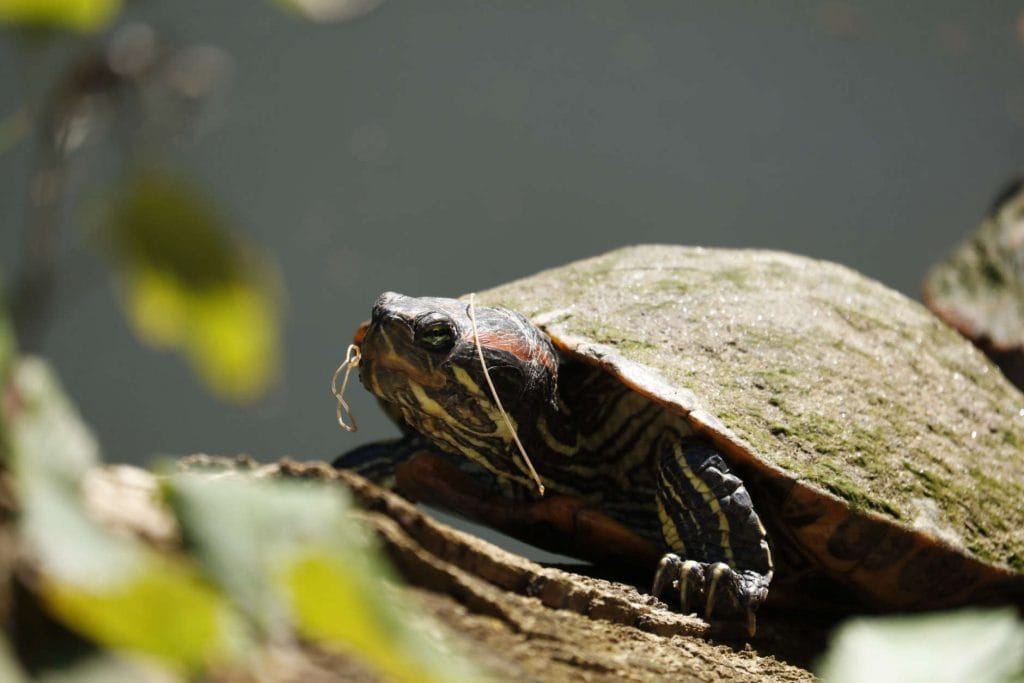 A turtle basks in the sun